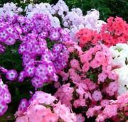 Семена флокса крупноцветкового
