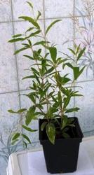 Саженцы экзотических плодовых растений