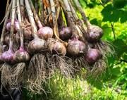 Продам чеснок озимый  насіння