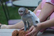 Очаровательны обезьян капуцинов