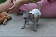 мило і чарівні капуцин мавп для прийняття