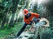 Рабочие в Литву,  заготовка леса