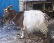Продається доросла коза