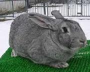 Кролики жывым весом