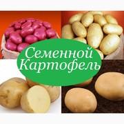 Продам картофель посевной/посадочный