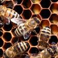 Пчелиное маточное молочко